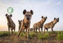 Photo of Kura residents were in great fear after spotting Hyenas in their locality