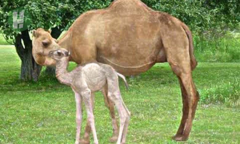 Photo of 15 Miraculous Facts about Camels you didn't know (Updated)