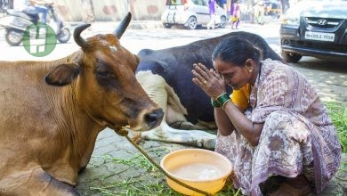 Photo of 7 amazing traditions and behaviours associated with Cows in Africa and Asia