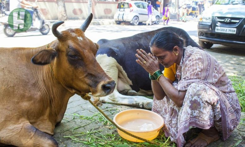 Photo of 7 Interesting Facts and Traditions associated with Cows in Africa and Asia